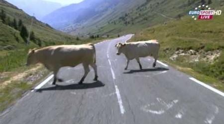 Tour de France: Keď sa pri rýchlom zjazde v Pyrenejách z ničoho nič postavia do cesty kravy